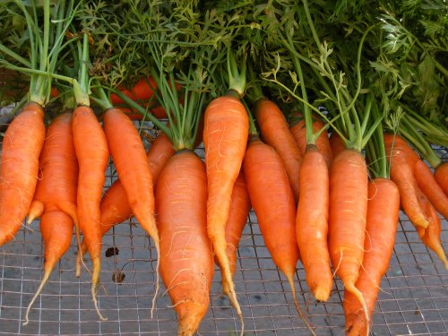 Carrots picked out of Kelly Childs' garden