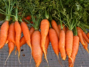 A bunch of carrots from Kelly Childs' garden.
