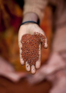 A woman's hand holding a pile of teff grains